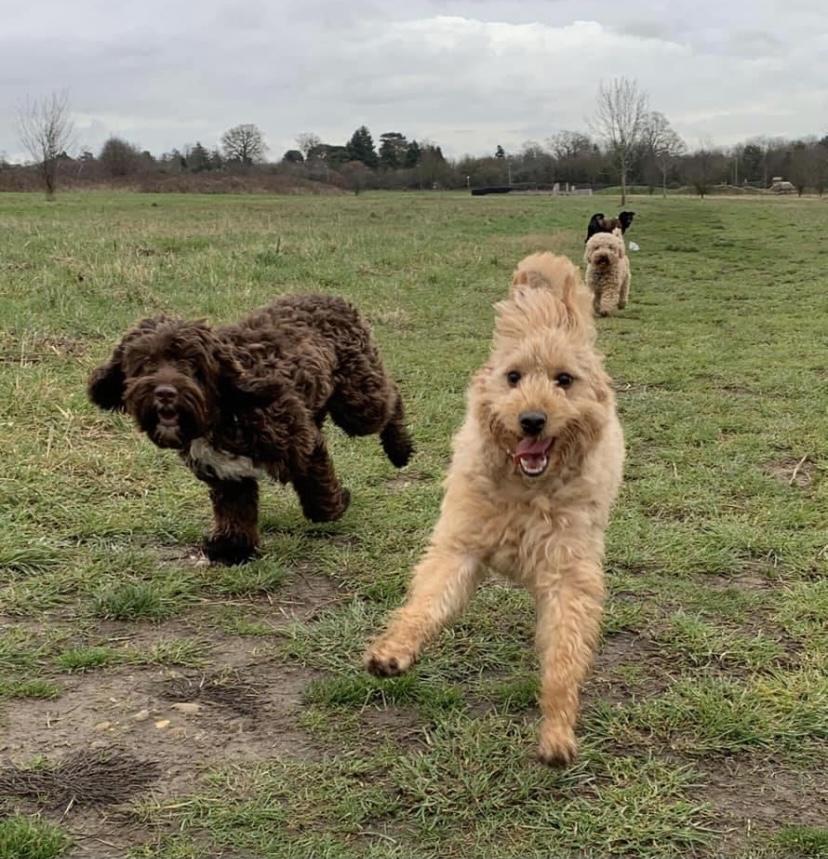 herts hiking hounds dog walking and training abbots langley kings langley hertfordshire 3